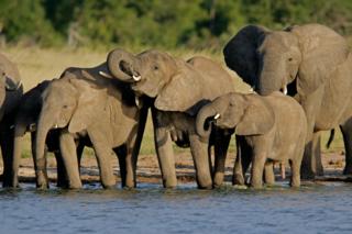 AFRICAN_ELEPHANTS_100639