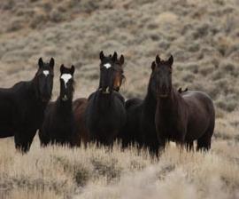 Wild_horse_herd