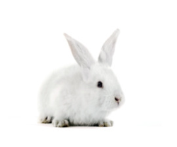 Rabbit_white