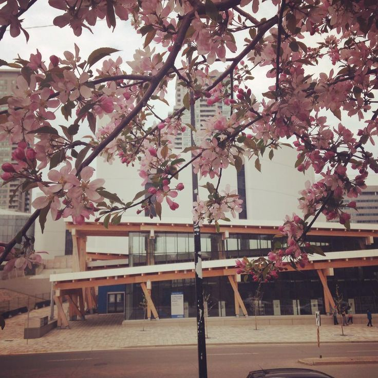 Cheery Blossoms and the new Scarborough Civic Centre Branch Toronto Public Library