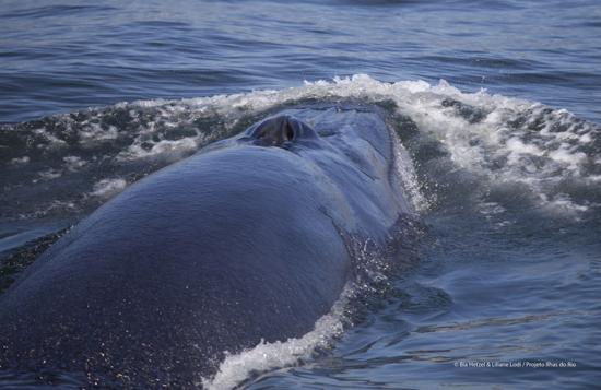 Rosto baleia bryde BIA HETZEL menor