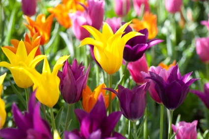 NATURE_FLOWERS_Tulips