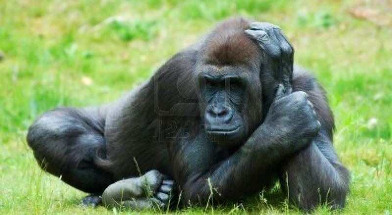 3122674-cerca-de-un-gran-gorila-hembra