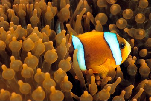 El pez payaso y la anémona. / Getty