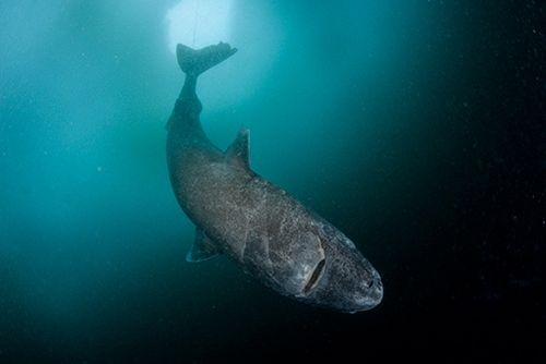 Greenland-shark-500w.jpg