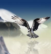 White-tailed-eagle-660907_640